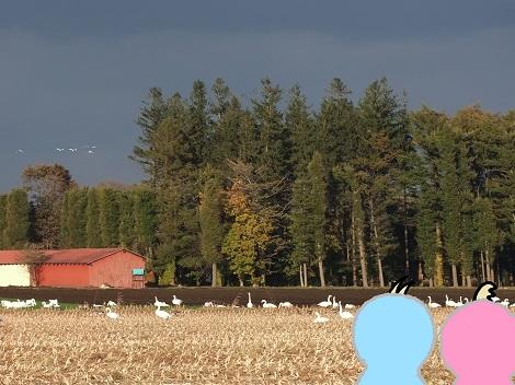 白鳥さんたち、とうもろこし畑で休憩.jpg