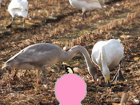 親子の白鳥さんたち、エサ探しを教えてもらってるよ.jpg