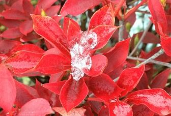 ドウタンツツジに氷の宝石.jpg