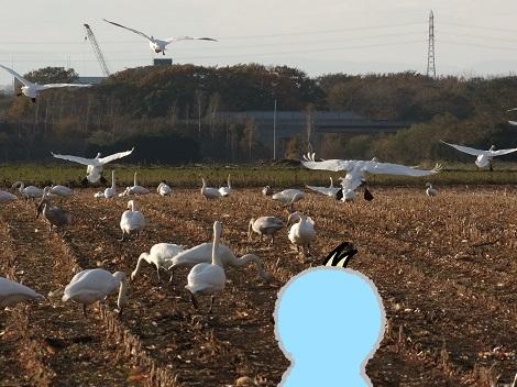 白鳥さんたち、無事到着.jpg