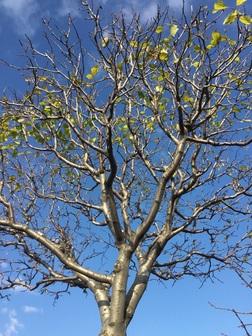 プルーンの木.JPG