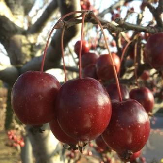 姫リンゴ 秋 収穫 赤色.JPG