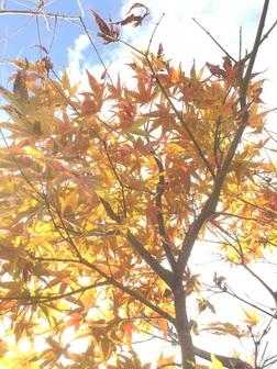 楓の紅葉 朝日を浴びて.JPG
